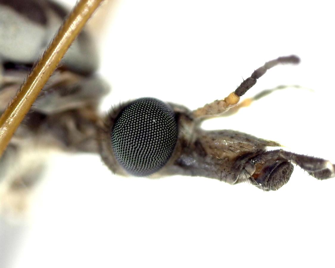 Schnake Tipula spec 13
