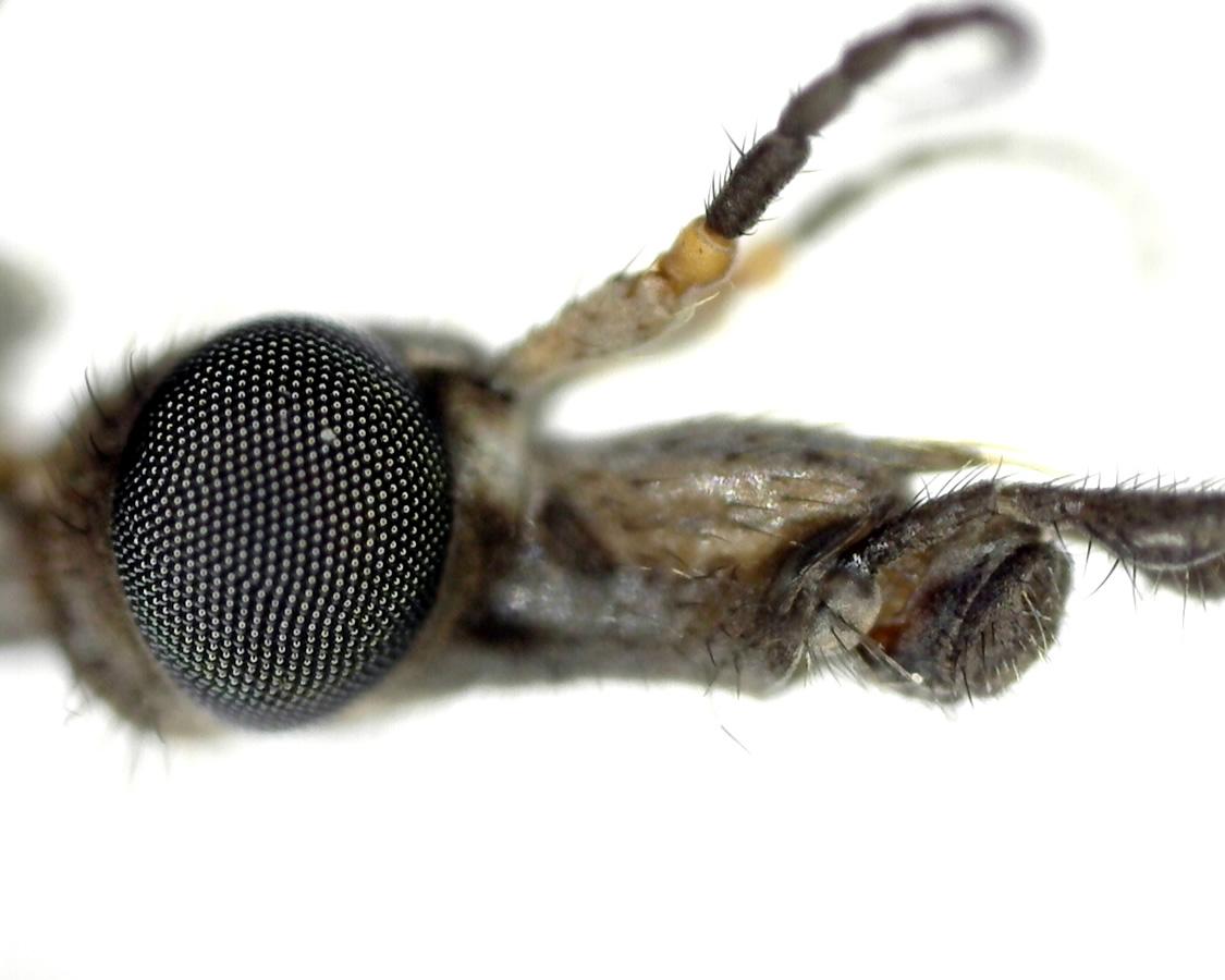 Schnake Tipula spec 14