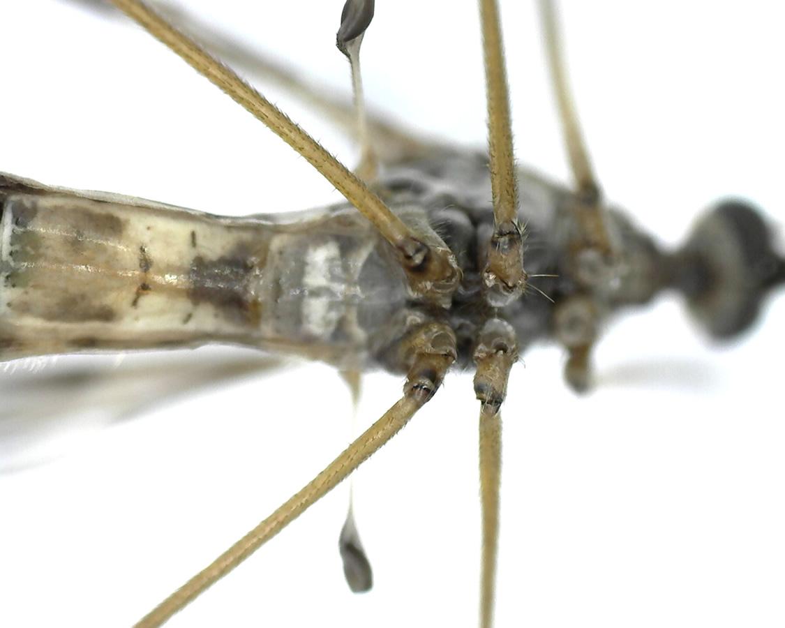 Schnake Tipula spec 16