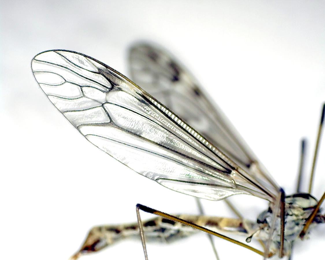 Schnake Tipula spec 19