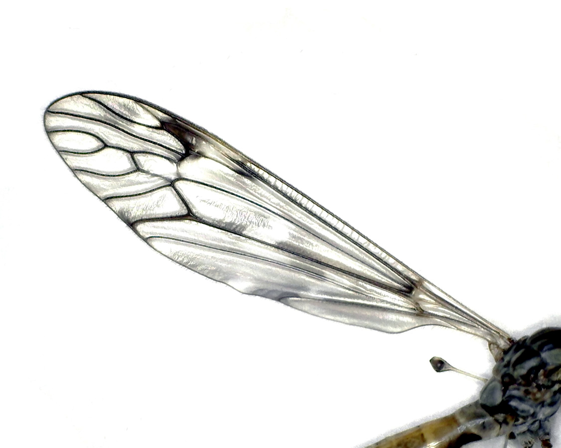 Schnake Tipula spec 20