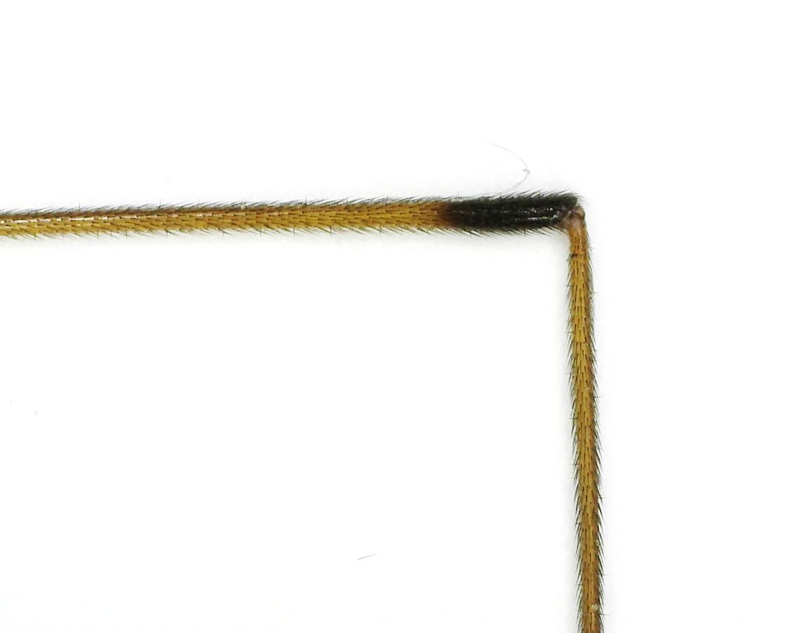 Schnake Tipula spec 24