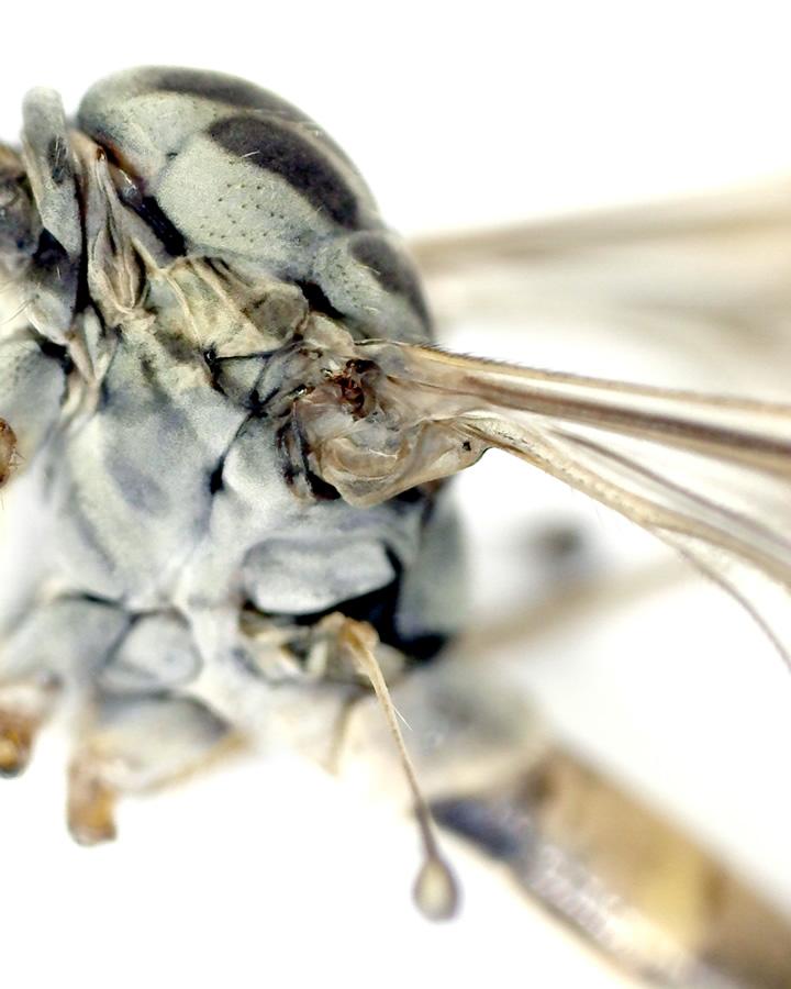 Schnake Tipula spec 25