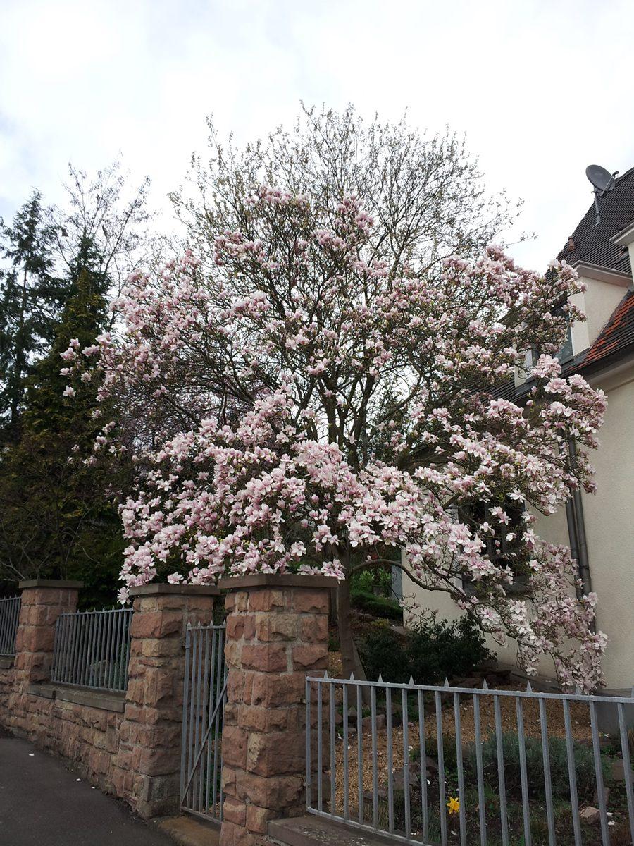 Tulpen-Magnolie 01
