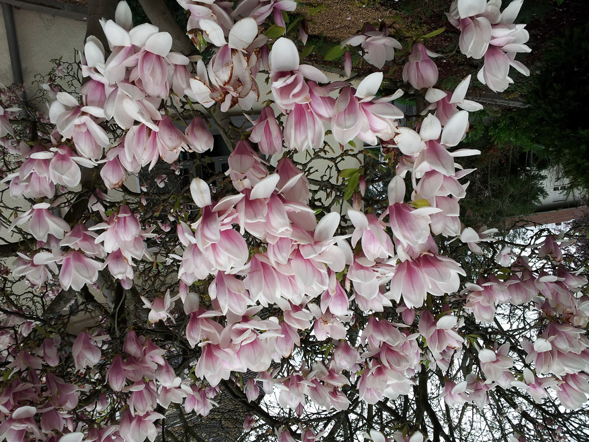 Tulpen-Magnolie 02
