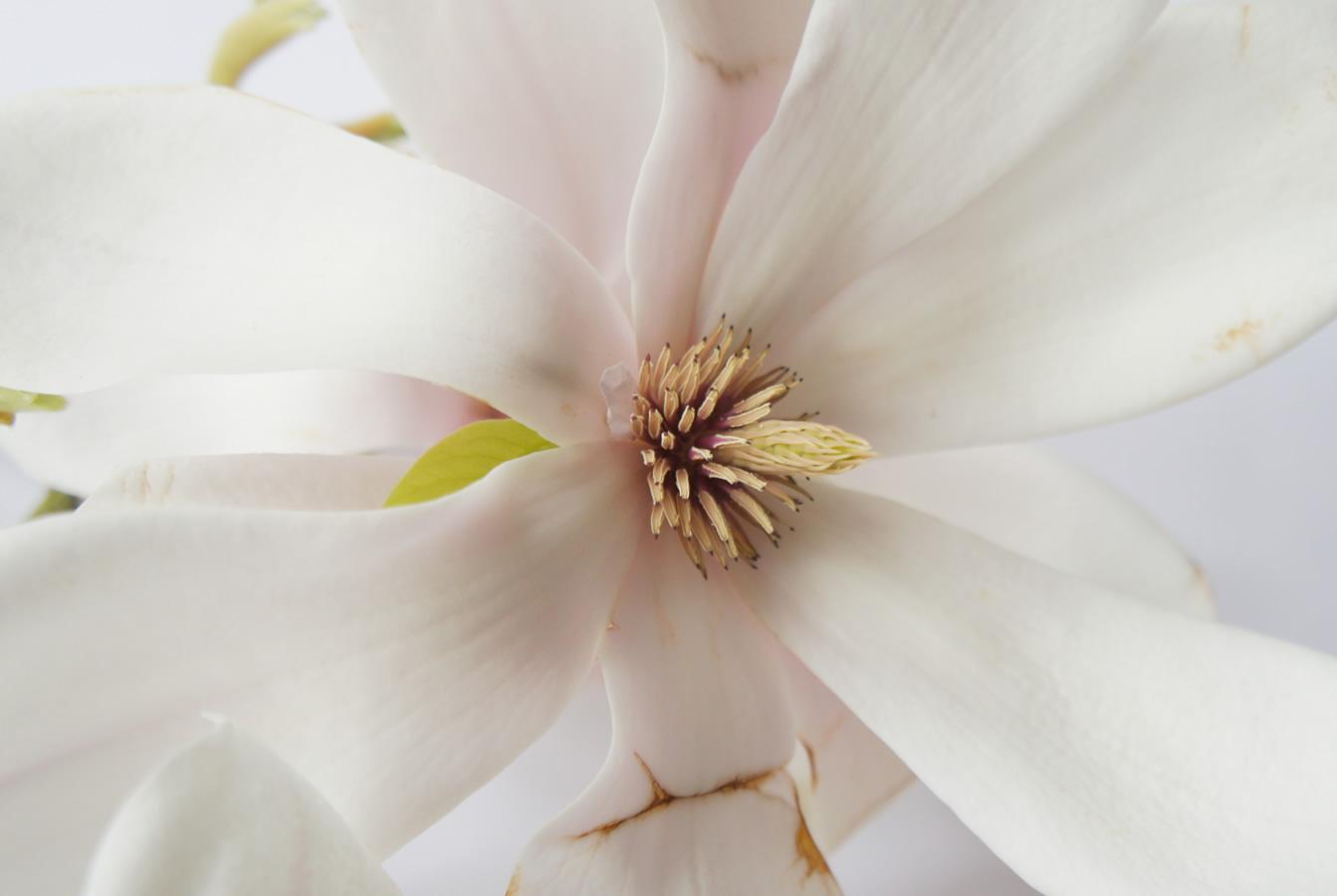Tulpen-Magnolie 03