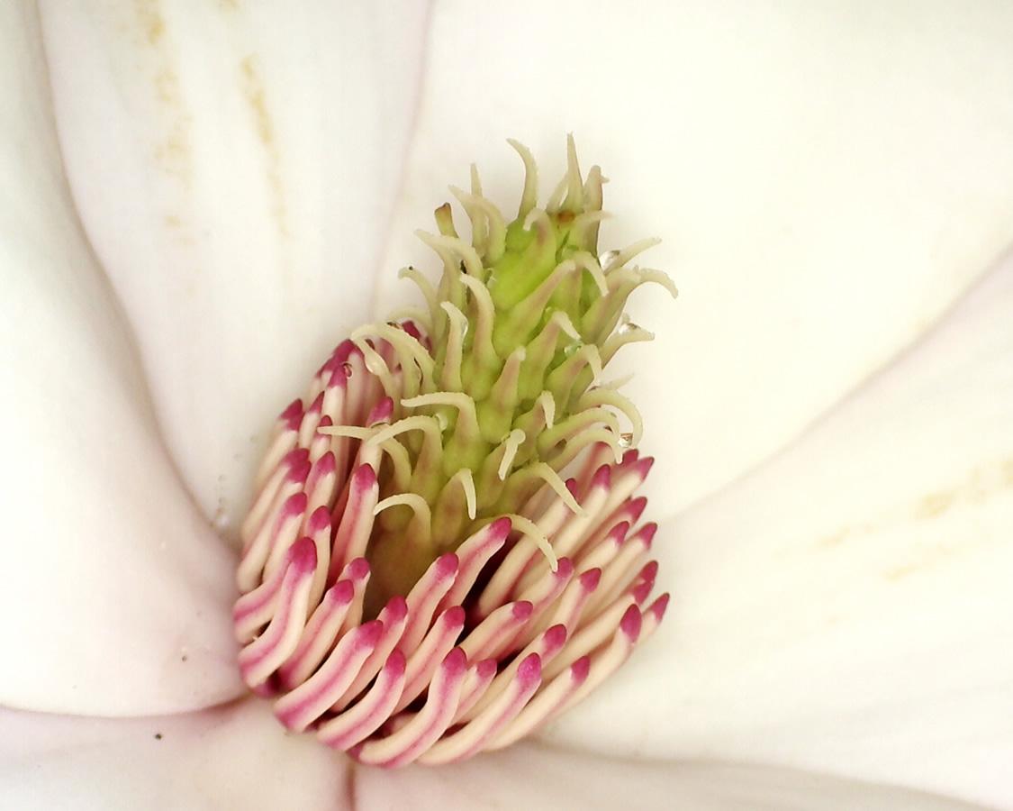 Tulpen-Magnolie 04
