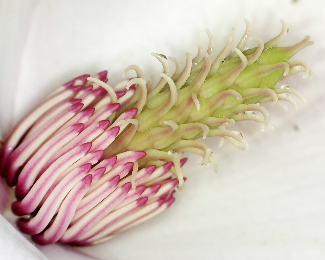 Tulpen-Magnolie 05