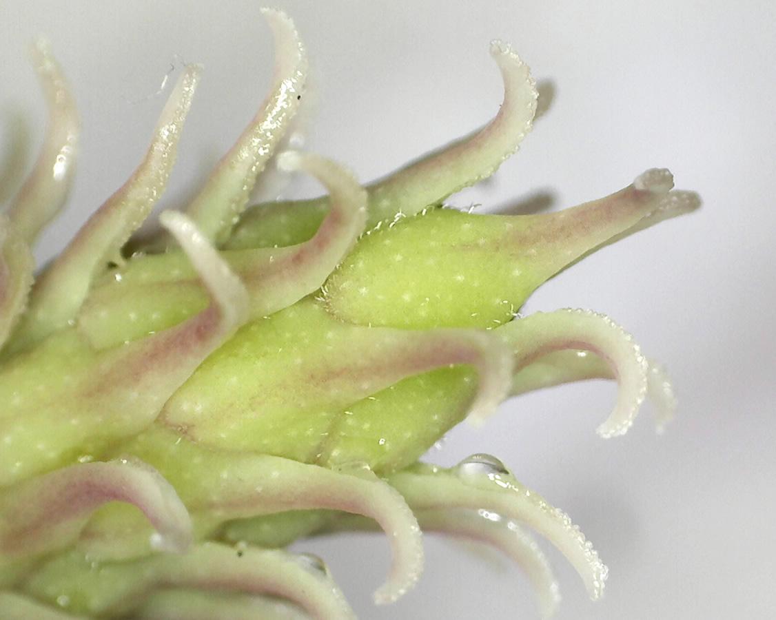 Tulpen-Magnolie 06