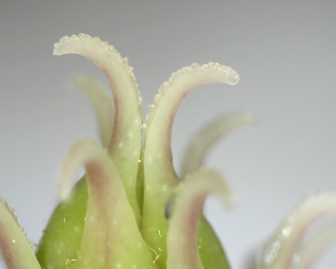 Tulpen-Magnolie 07