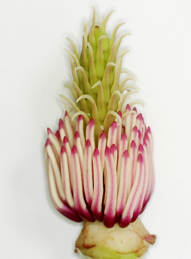Tulpen-Magnolie 08