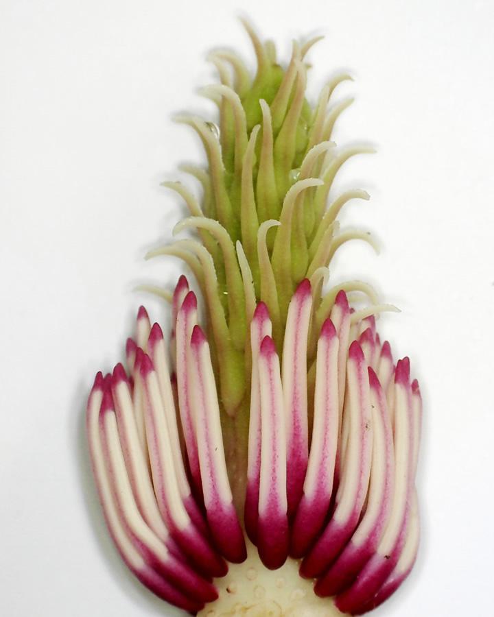 Tulpen-Magnolie 09