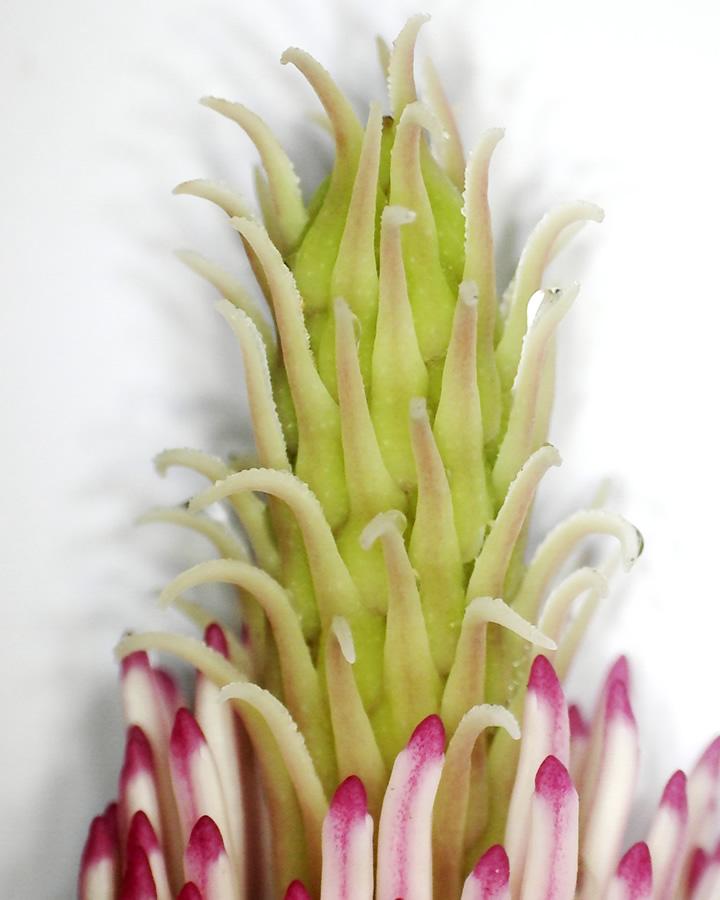 Tulpen-Magnolie 10