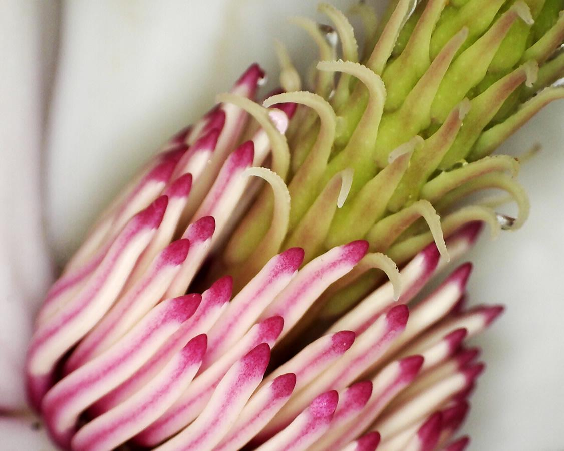 Tulpen-Magnolie 12