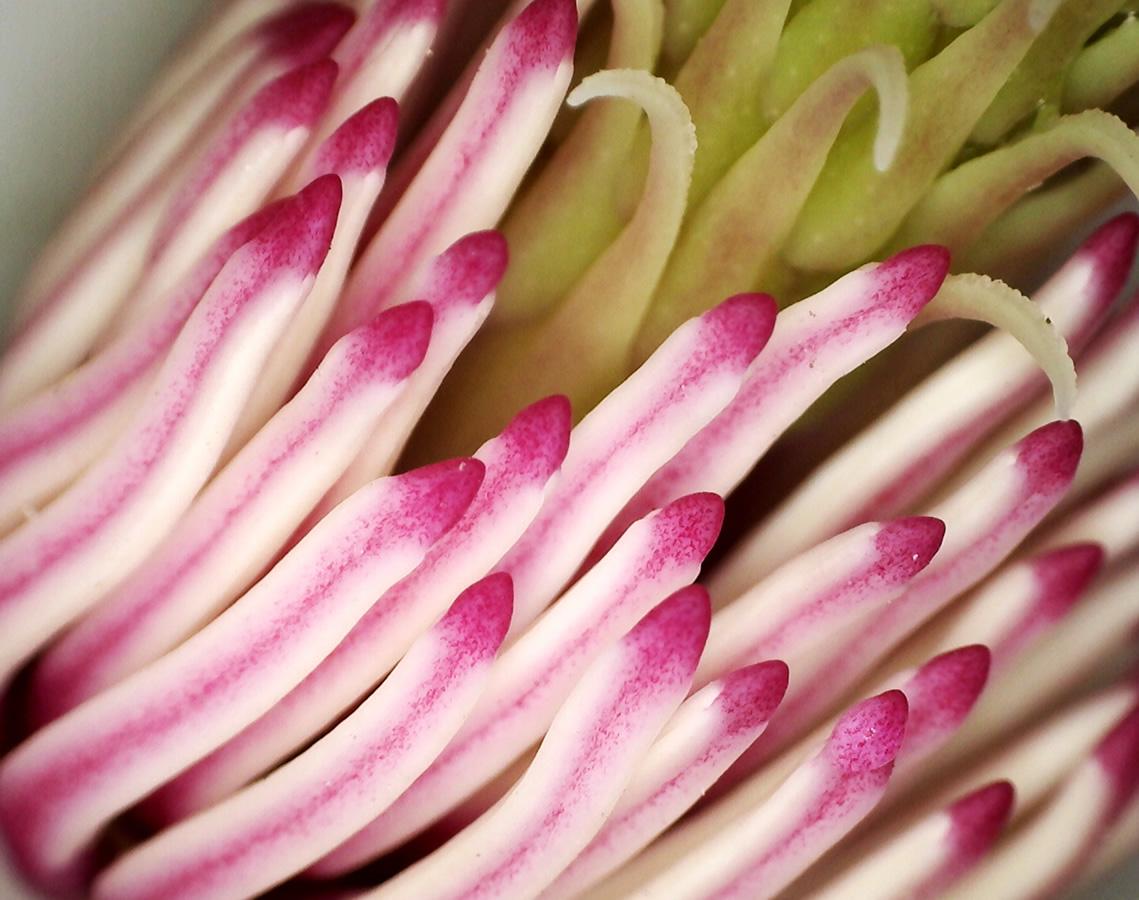Tulpen-Magnolie 13