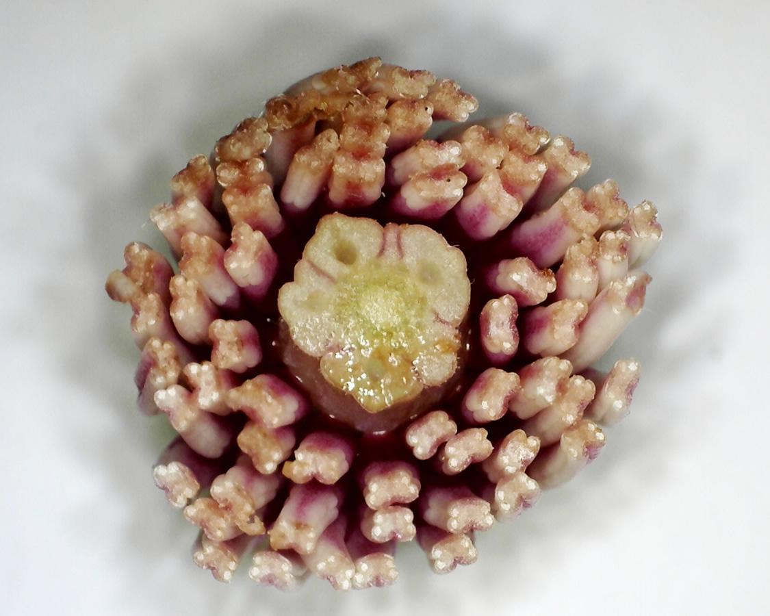 Tulpen-Magnolie 14