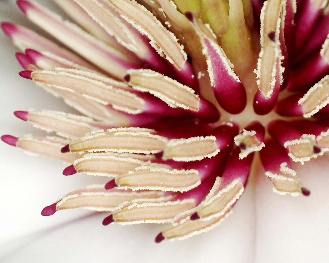 Tulpen-Magnolie 17