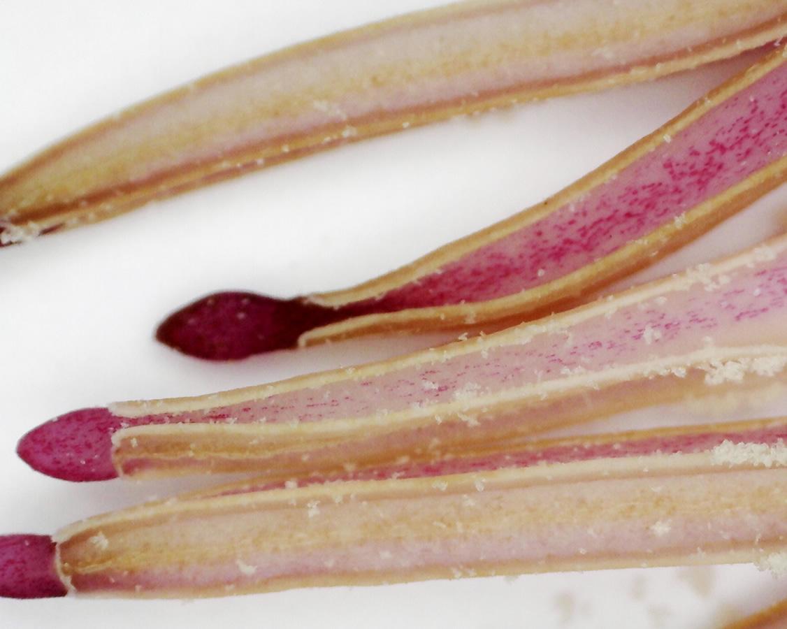 Tulpen-Magnolie 18