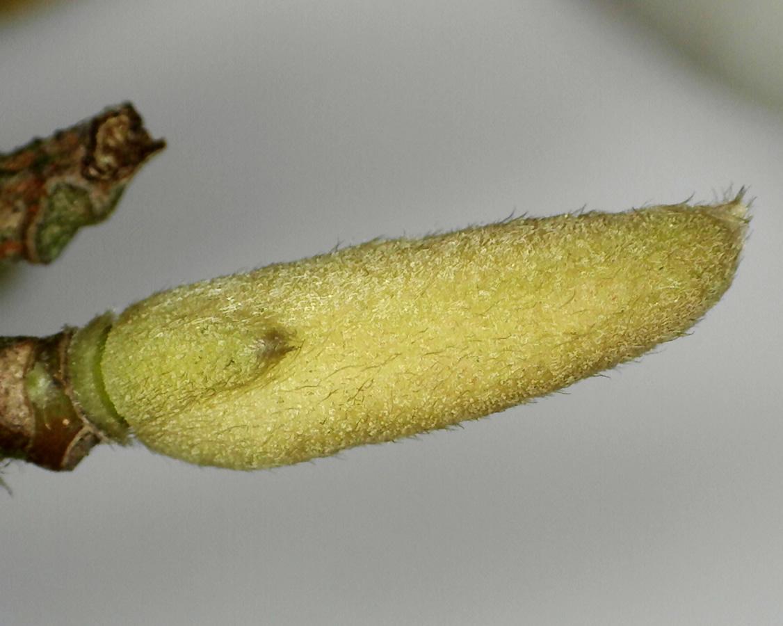 Tulpen-Magnolie 20