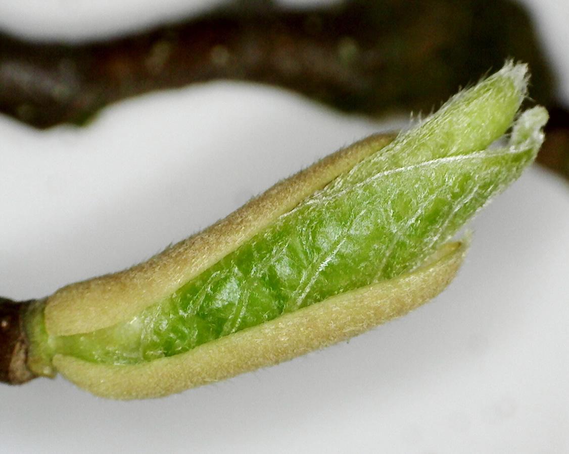 Tulpen-Magnolie 21