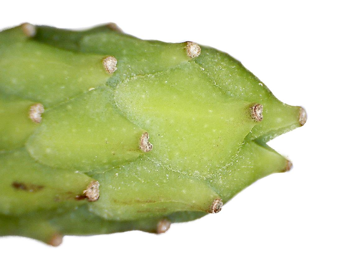 Tulpen-Magnolie 25