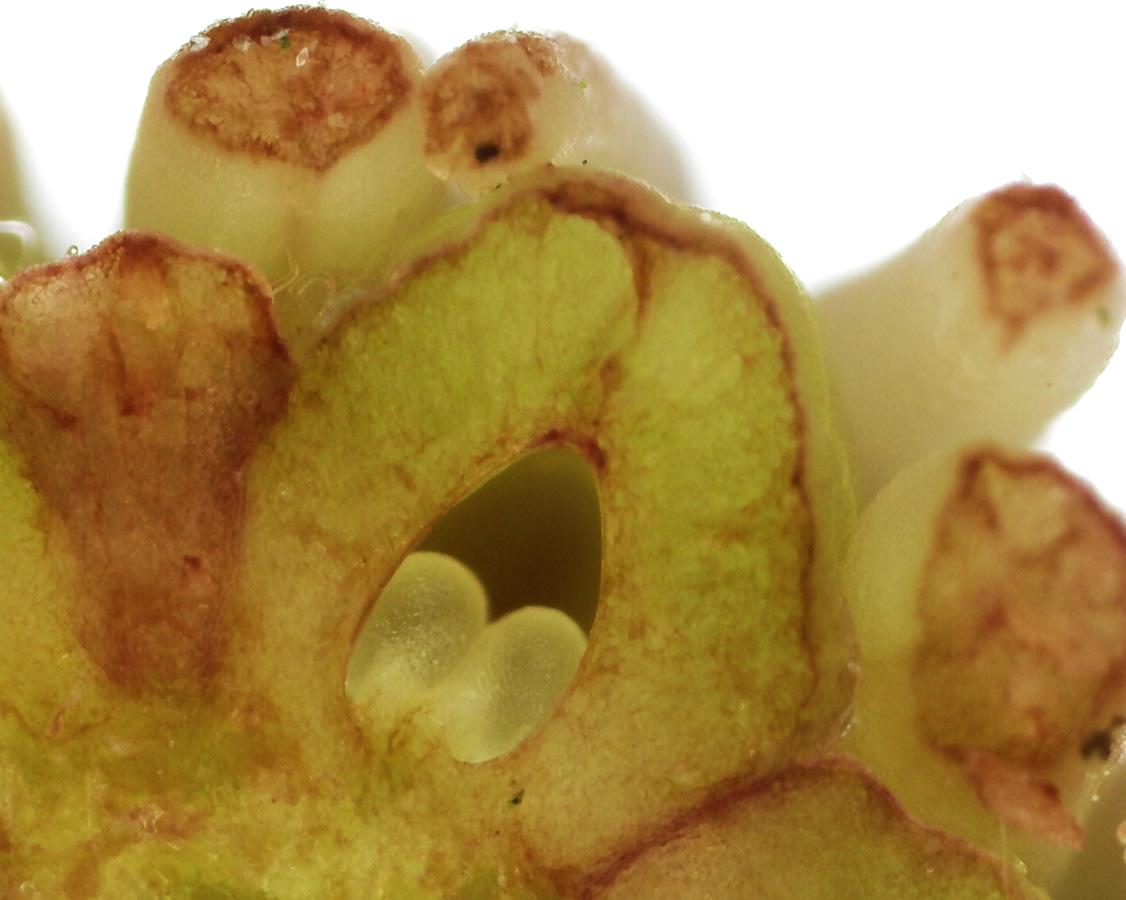 Tulpen-Magnolie 27
