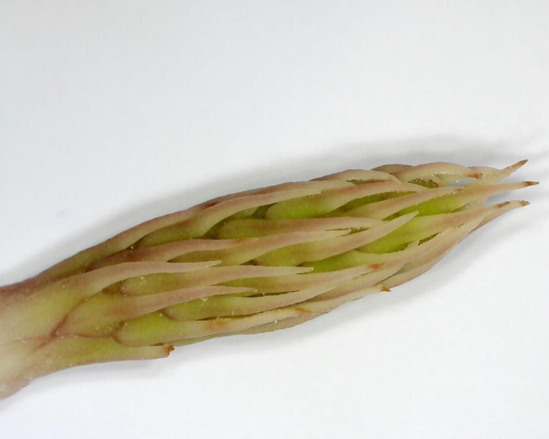 Tulpen-Magnolie 29