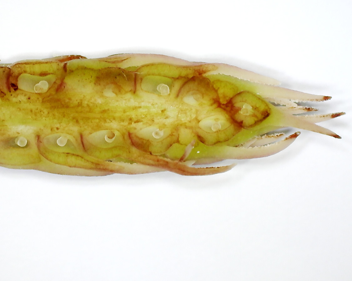 Tulpen-Magnolie 31