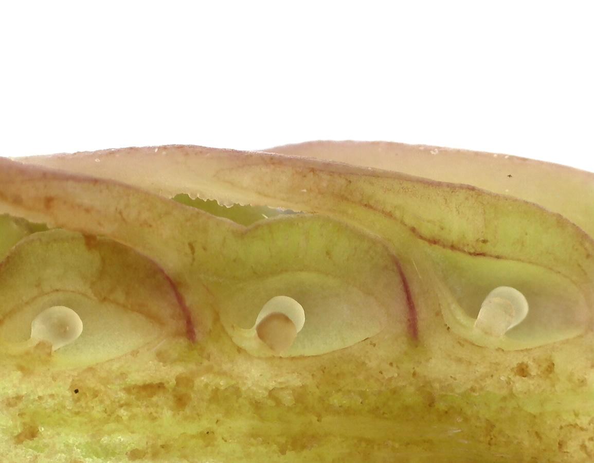Tulpen-Magnolie 32