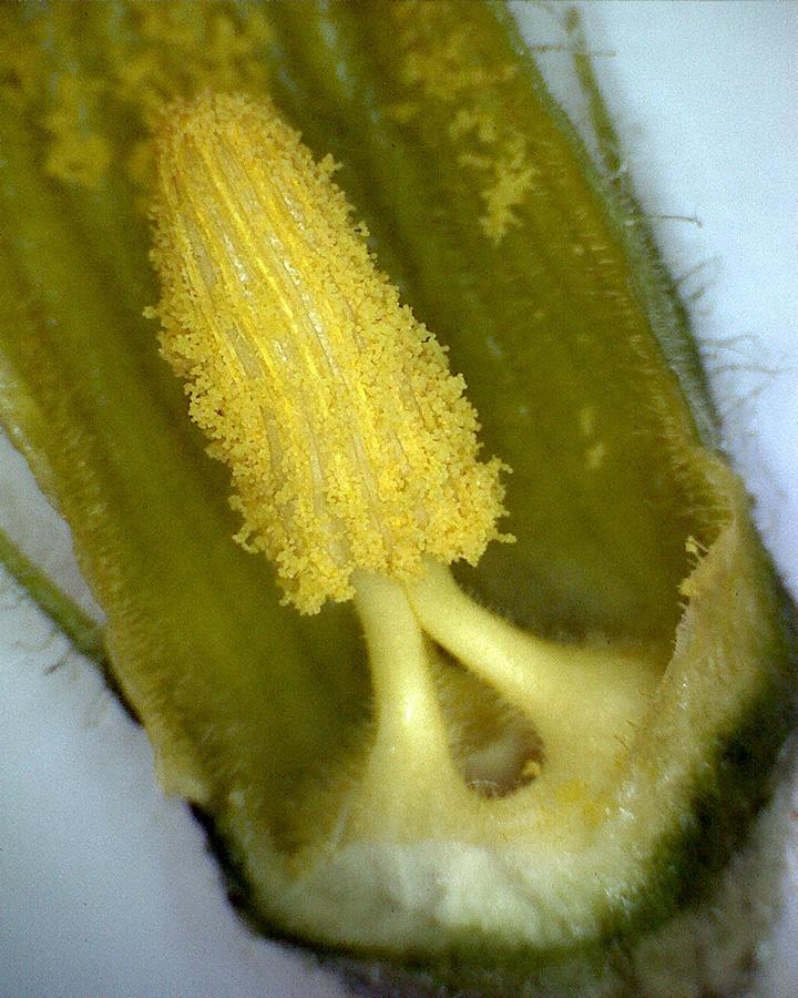 Zucchini 04