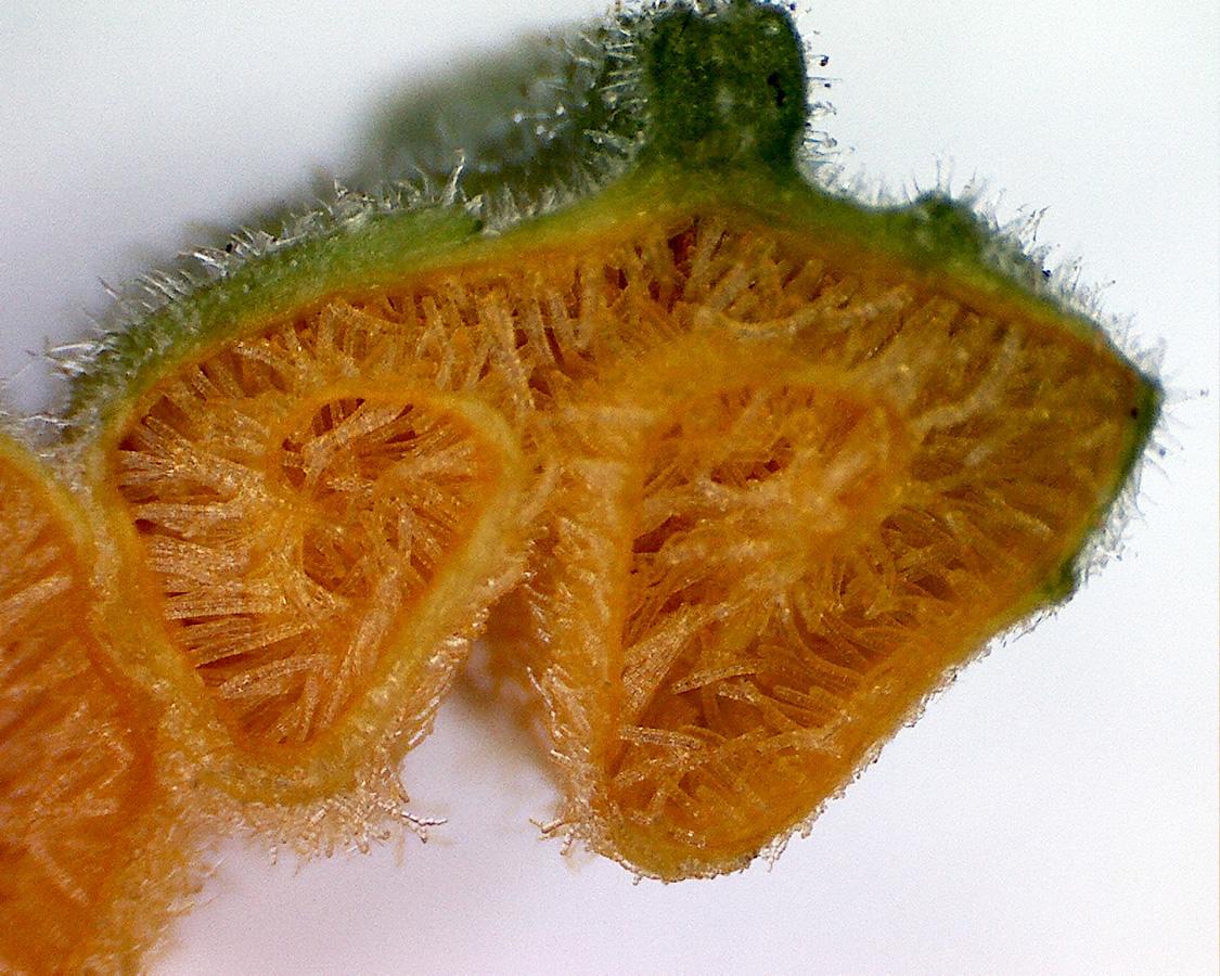 Zucchini 15