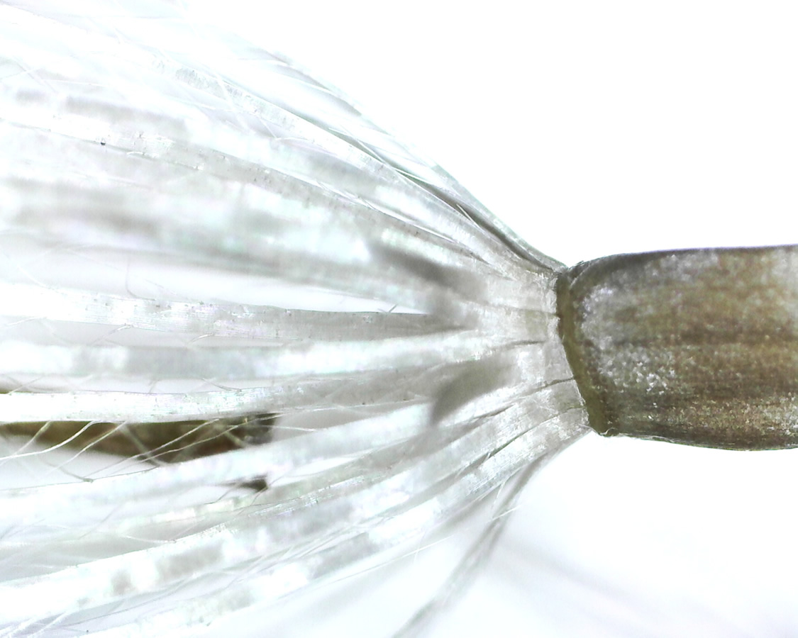 Acker-Kratzdistel 40
