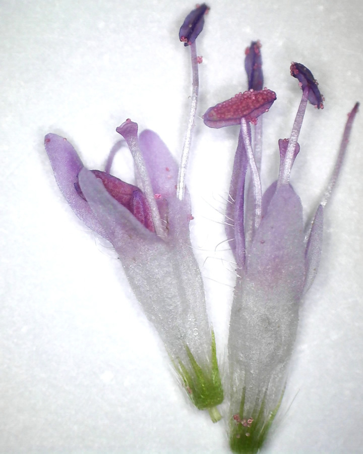 Acker-Witwenblume 12