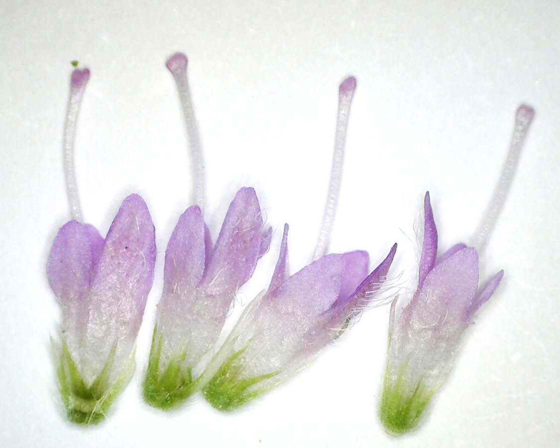Acker-Witwenblume 13