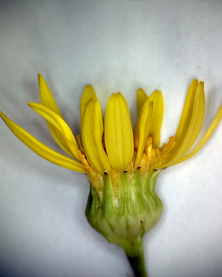 Frühlings-Greiskraut 07