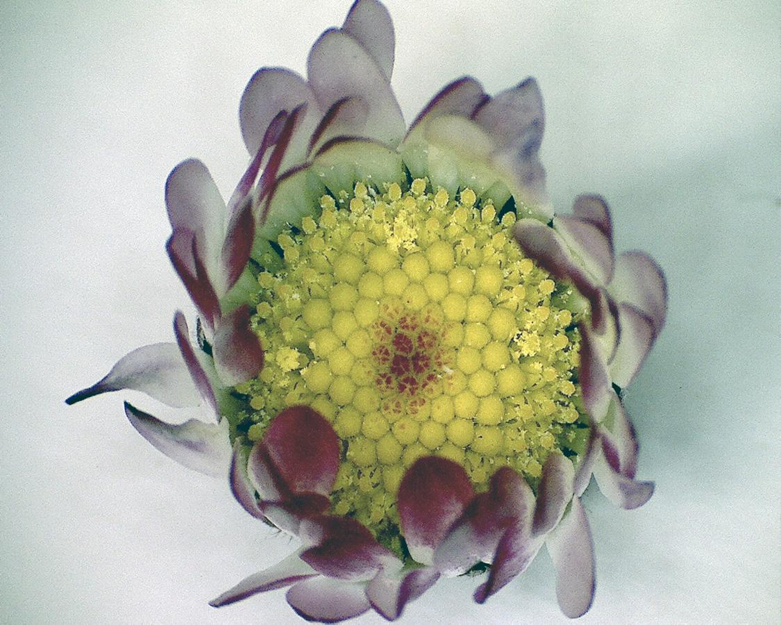 Gänseblümchen 03
