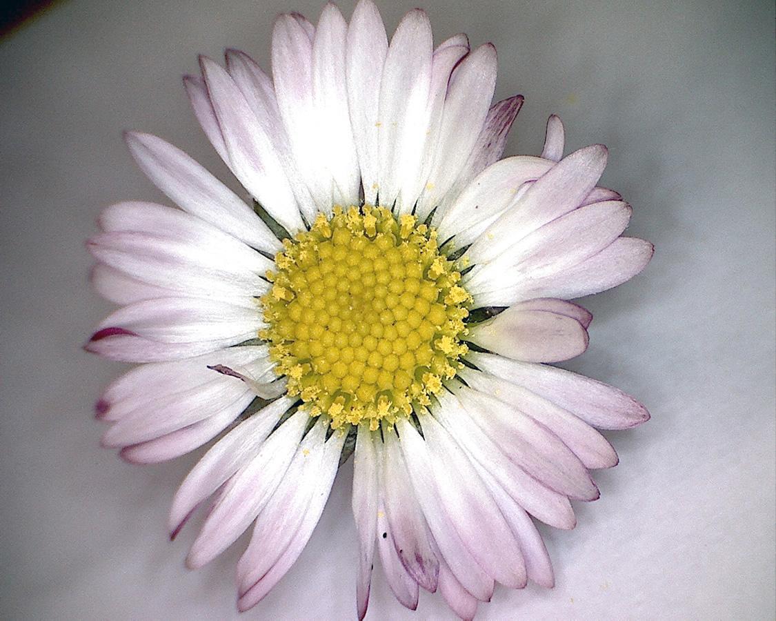 Gänseblümchen 05