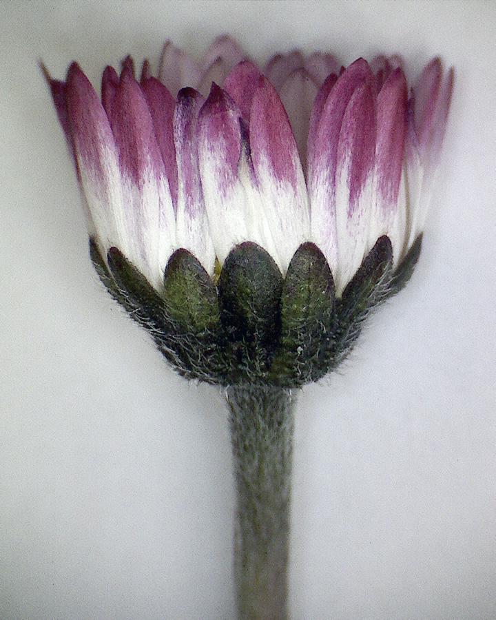 Gänseblümchen 09