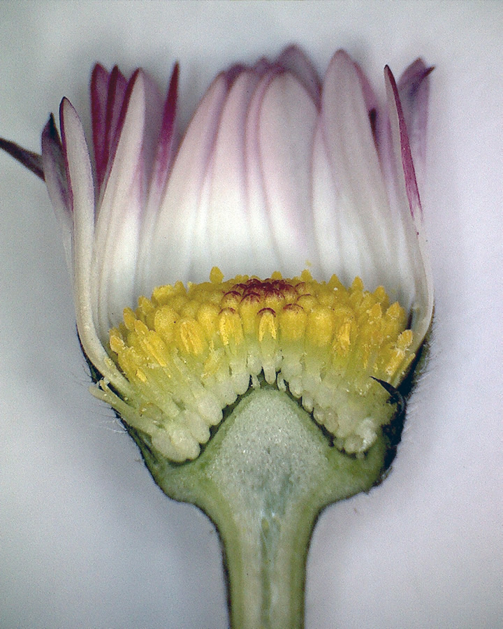 Gänseblümchen 10