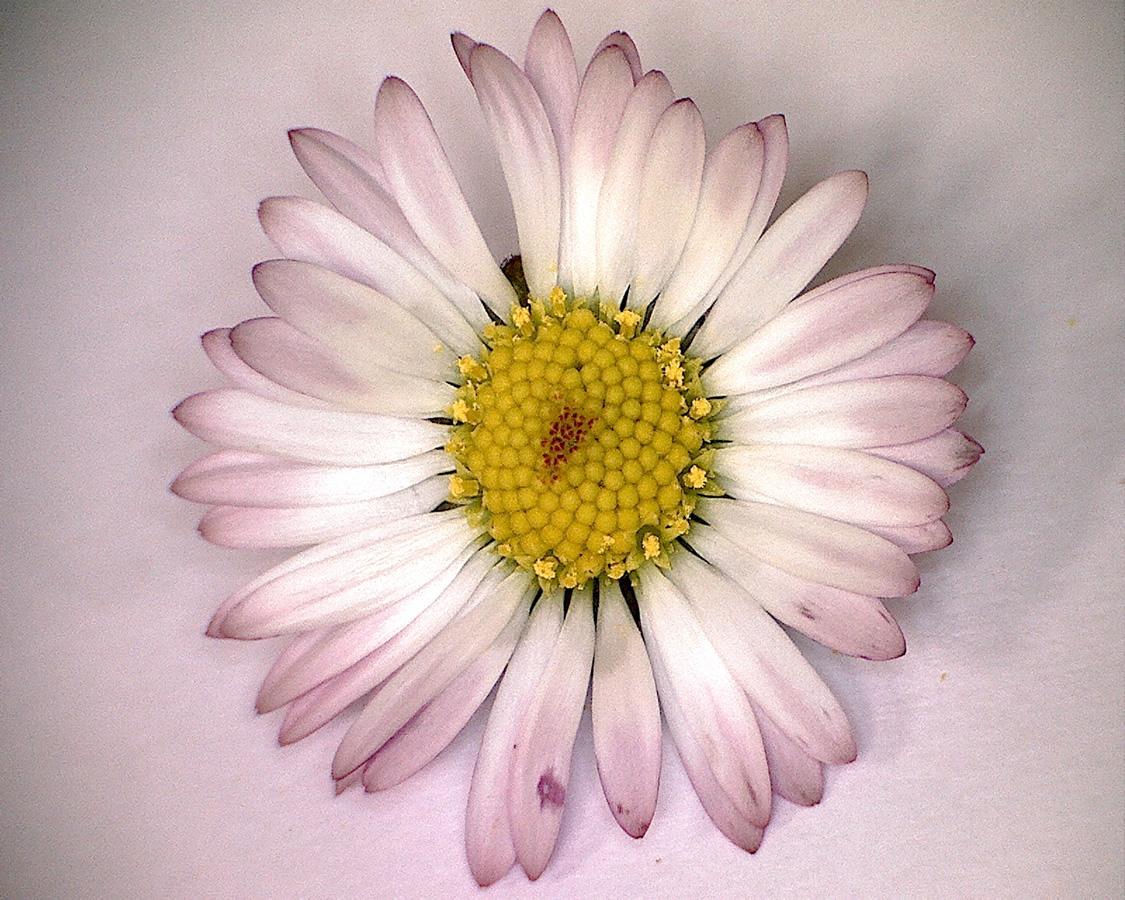 Gänseblümchen 21