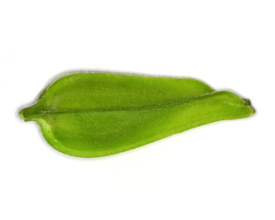 Gemeiner Stechapfel 06