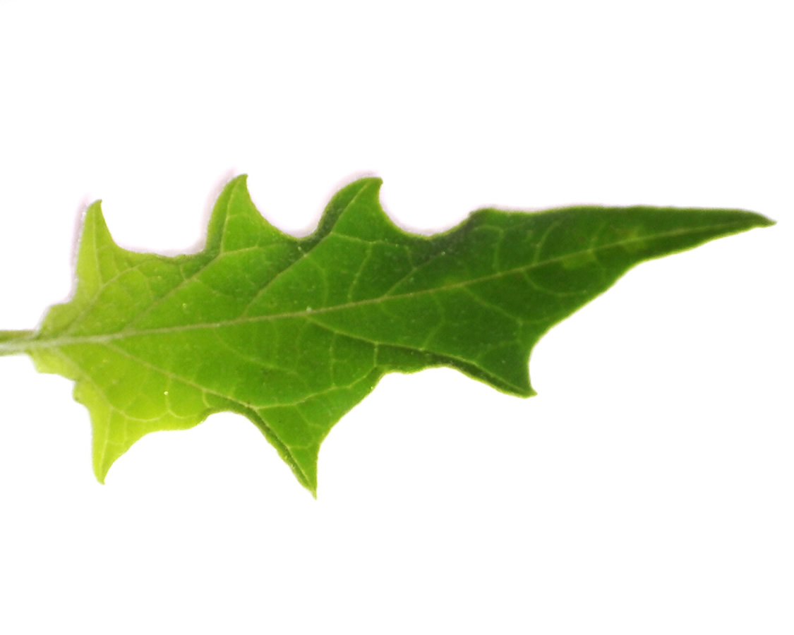 Gemeiner Stechapfel 14