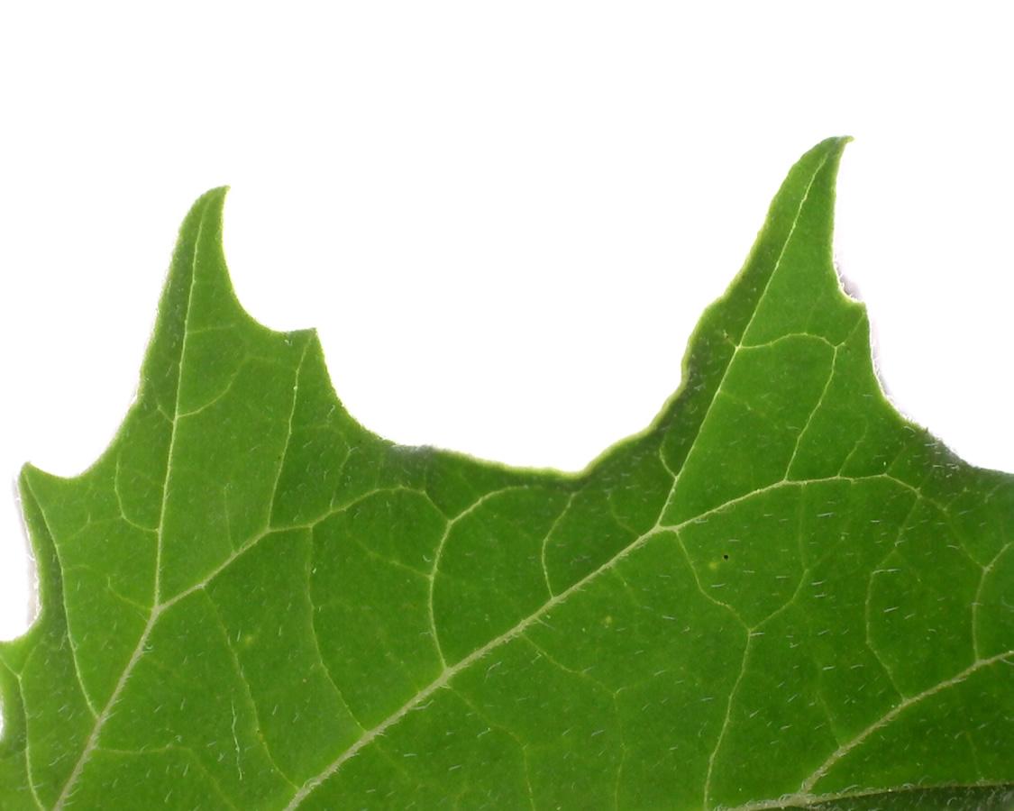 Gemeiner Stechapfel 15
