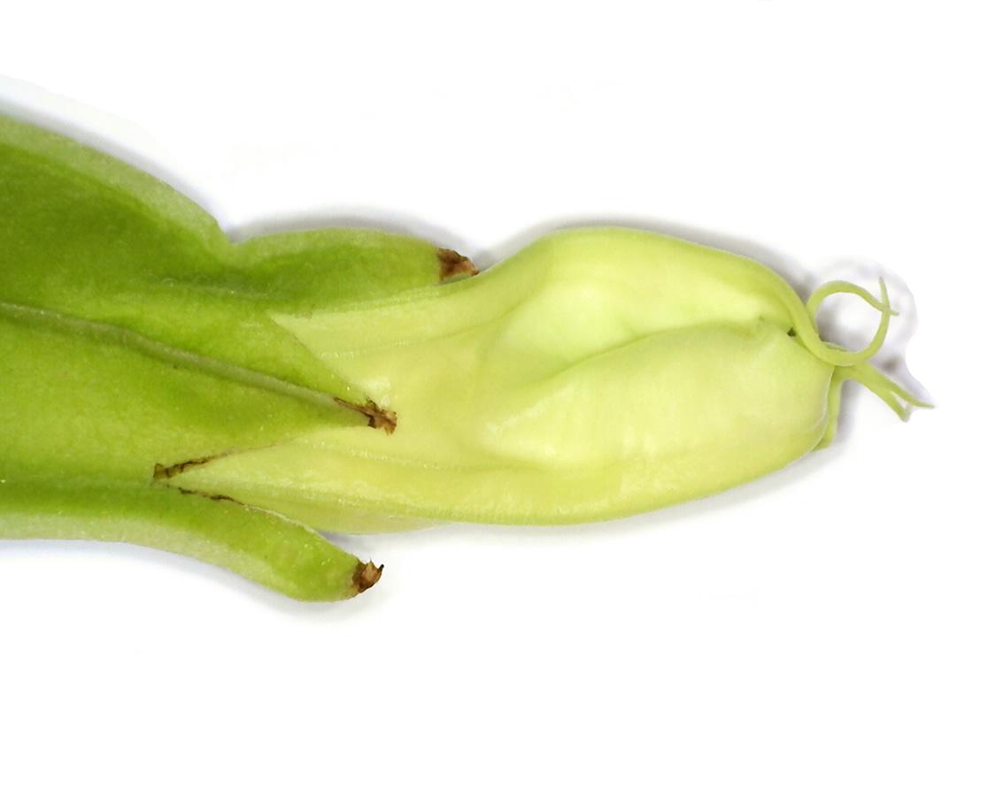 Gemeiner Stechapfel 33