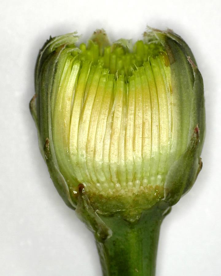 Gewöhnliches Ferkelkraut 18