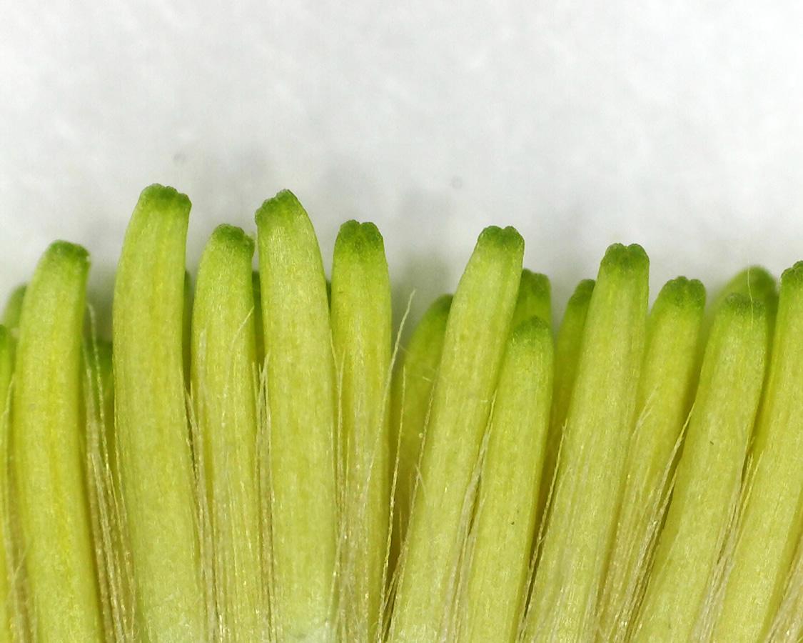 Gewöhnliches Ferkelkraut 20