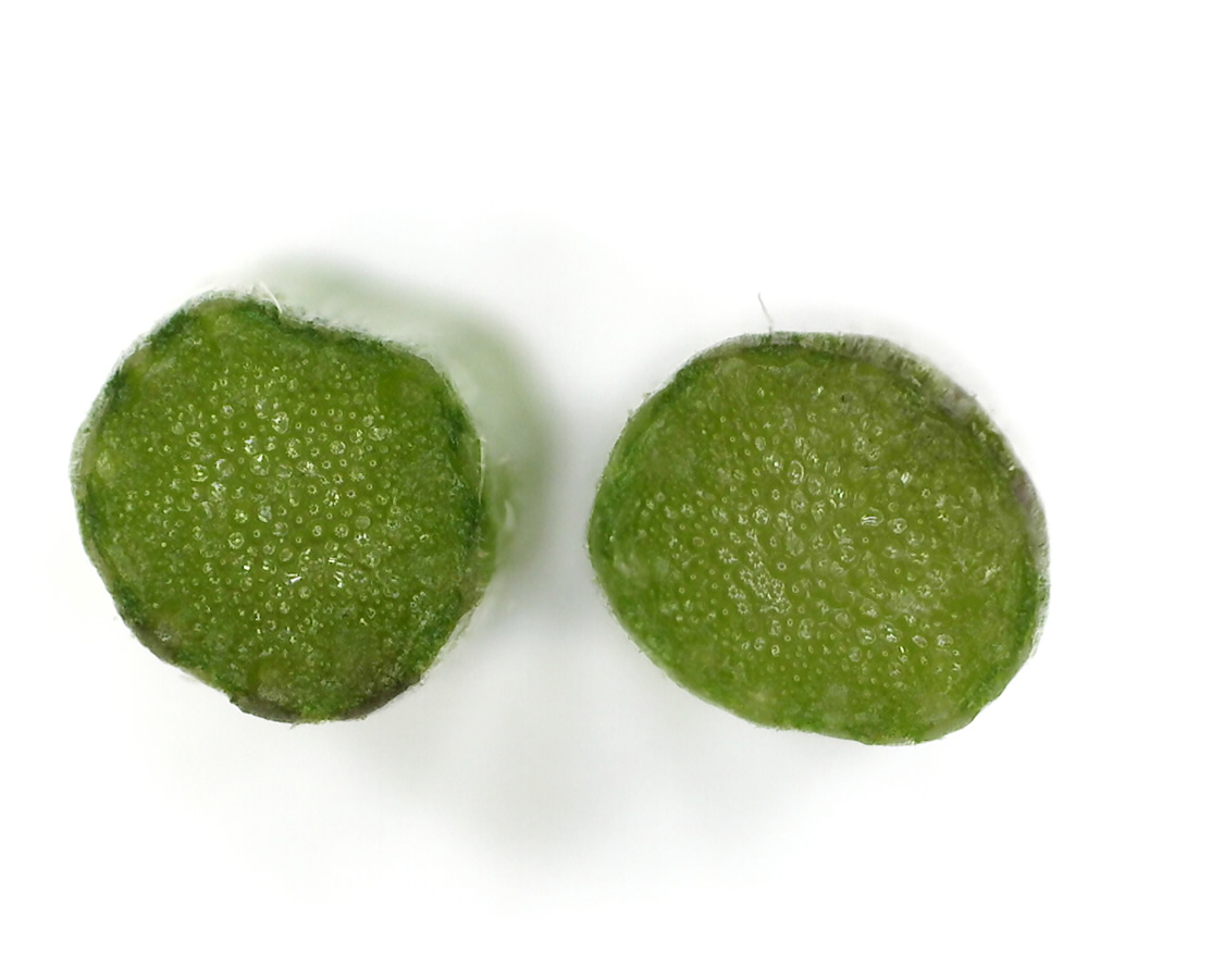 Kleinblütiges Knopfkraut 19