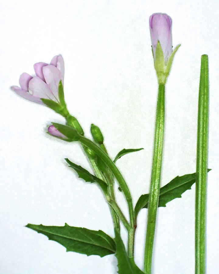 Kleinblütiges Weidenröschen 03