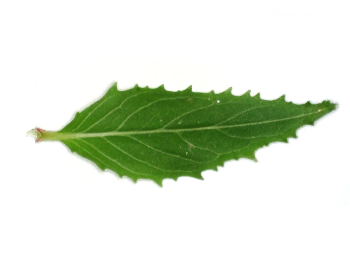 Kleinblütiges Weidenröschen 14