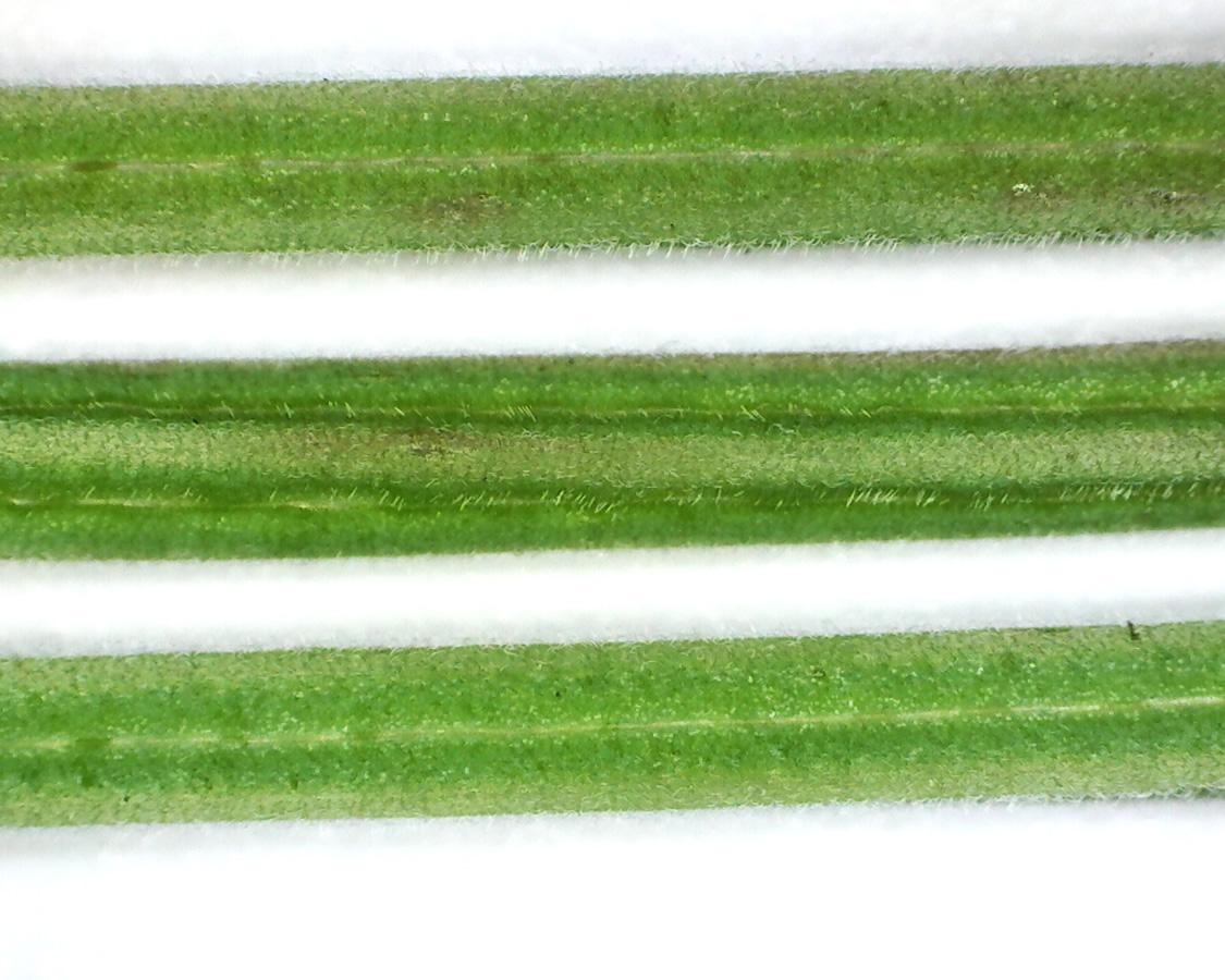 Kleinblütiges Weidenröschen 19